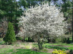 DownyServiceberry1212015