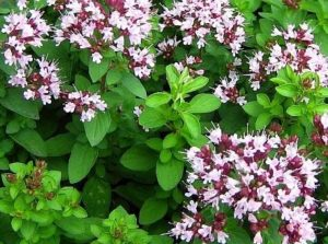 Oregano-wild marjoram leaves and flowers