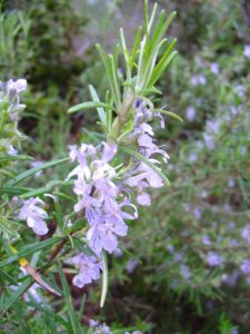 Rosmarinus_officinalis_re