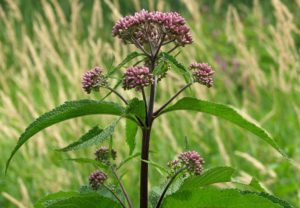 Spotted_Joe-pye_Weed