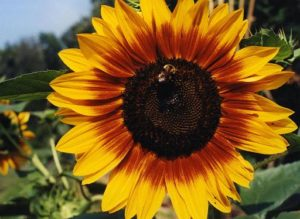 Sunflower-With-Bee