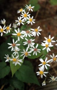 White_wood_aster_1