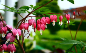 bleeding-heart-plant01