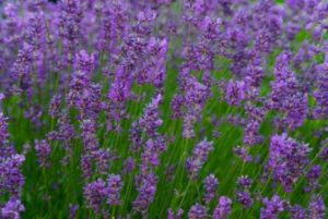 english-lavender