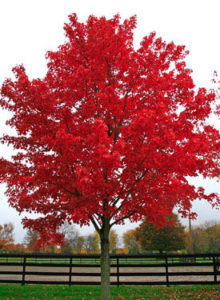 red_maple_fall-RESIZED