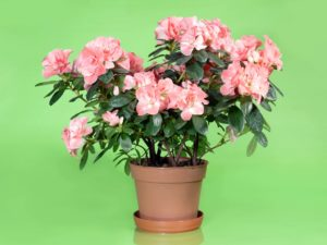 Potted Pink Azalea