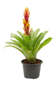 Potted Yellow and Pink Bromeliad